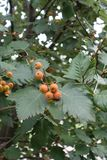 Branch of Sorbus aria with fruits and leaves. Branch of Sorbus aria with unripe fruits and leaves stock photography