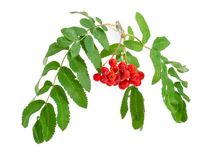 Rowan branch with berries and leaves on a white background. Branch of Sorbus aucuparia also known as rowan or mountain ash with cluster of red berries and green royalty free stock images