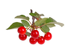 Branch with sour cherry leaves and fruit isolated Royalty Free Stock Image