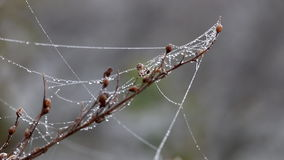 Branch with spider cobweb and dew drops stock video