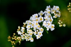Branch Of Spirea Gray royalty free stock images
