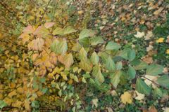 Branch of spirea with multicolored autumnal leafage. Branch of spirea with multi-colored autumnal leafage Stock Photo