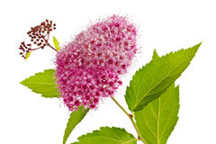 Branch of a spirea plant isolated Stock Photo