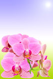 Branch of spotted orchid on natural gradient Stock Images