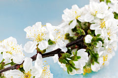 Branch of sprig with blossoms. Stock Images