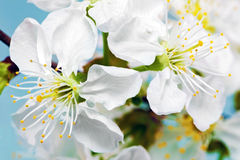 Branch of sprig with blossoms. Royalty Free Stock Photo