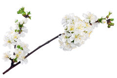 Branch of sprig with blossoms. Isolated on white background. Royalty Free Stock Image