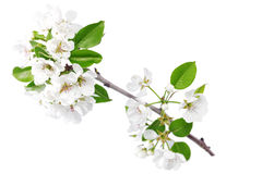 Branch of sprig with blossoms. Stock Photo