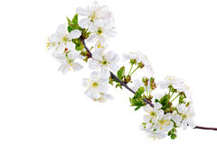Branch of sprig with blossoms. Isolated on white background. Stock Image