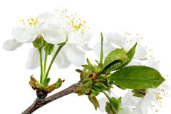 Branch of sprig with blossoms. Isolated on white background. Royalty Free Stock Images