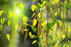 Branch of a spring birch tree Stock Images