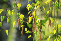 Branch of a spring birch tree Stock Photo