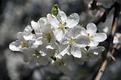 A branch of a spring blossoming apple tree Royalty Free Stock Photo