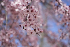 branch spring, details of cherry blossoms with beautiful pink pe Royalty Free Stock Images