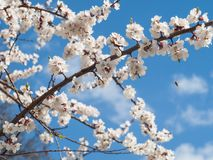 Branch of spring flowering apple tree with blue sky background Stock Photo