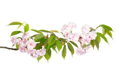 Branch with spring flowers. Isolated on white background Stock Images