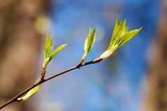 Branch with spring leaves Royalty Free Stock Photo