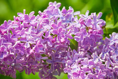 Branch with spring lilac flowers Royalty Free Stock Photography