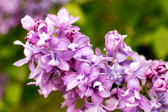 Branch with spring lilac flowers Stock Photography
