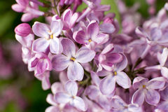 Branch with spring lilac flowers Stock Images