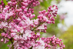 Branch with spring lilac flowers closeup Stock Photos