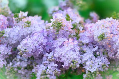 Branch with spring lilac flowers Stock Photo
