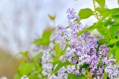 Branch with spring lilac flowers Royalty Free Stock Image