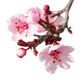 Branch of spring plum blossom with pink flowers Stock Photo