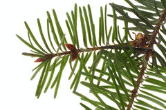Branch of the spruce Royalty Free Stock Image