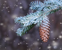 Branch spruce  with cone sprinkled with snow. In the woods Stock Photo