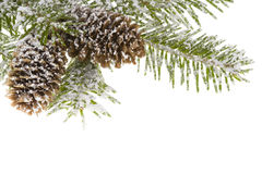 Branch spruce and cones Stock Photos