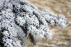 Branch of spruce in frost. Closeup Stock Images