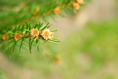 Branch of spruce on a green background. stock photo