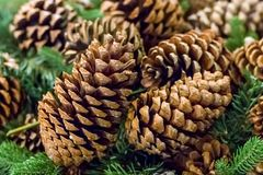 Branch spruce green brown cone close-up, rustic pattern winter t. Raditional decoration royalty free stock image