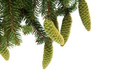 Branch of spruce with green cones Royalty Free Stock Photography