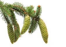 Branch of spruce with green cones Stock Images