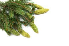 Branch of spruce with green cones Royalty Free Stock Image