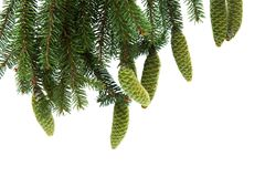 Branch of spruce with green cones Stock Photos