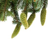 Branch of spruce with green cones Stock Photography