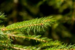 Branch spruce green large Stock Photo