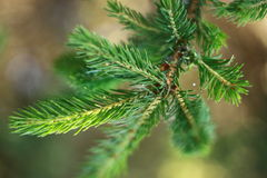Branch of spruce. Green branch of spruce on tree royalty free stock image