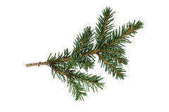 The branch of spruce Stock Photography