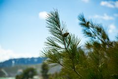 branch of spruce in the mountains of Cyprus stock photos