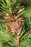 Branch of spruce with Pineapple gall adelgid or Adelges abietis. Branch of spruce with Pineapple gall adelgid Adelges abietis. Browned gall after release of stock photo