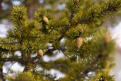 Branch of spruce and strobile. Background closeup Stock Photography