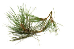 Branch of spruce tree Royalty Free Stock Photo