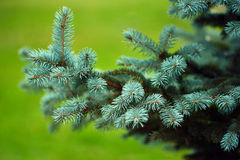 Branch of spruce tree. Greeting card with spruce Royalty Free Stock Photo