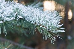 Branch of spruce tree with white snow. Winter spruce tree in the frost.Layer of snow on branches of spruce with hoar stock photography