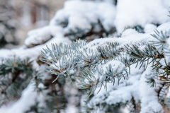 The branch of spruce under snow Royalty Free Stock Photo