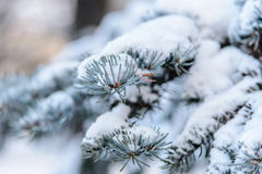 The branch of spruce under snow. The branch of spruce under downy snow Royalty Free Stock Image